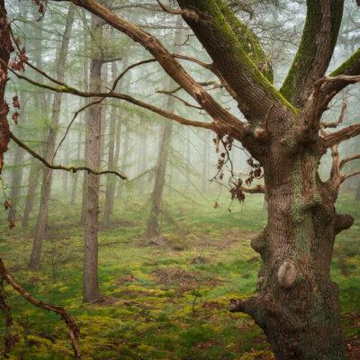 Oude eik en mist