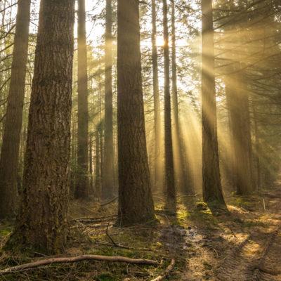Lichtbeams in de Veluwse bossen