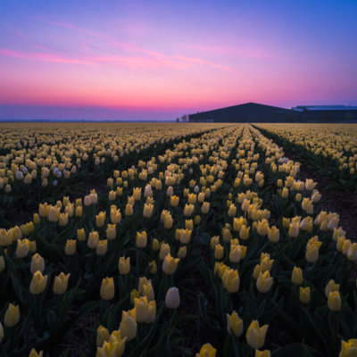 Tulpen timelapse