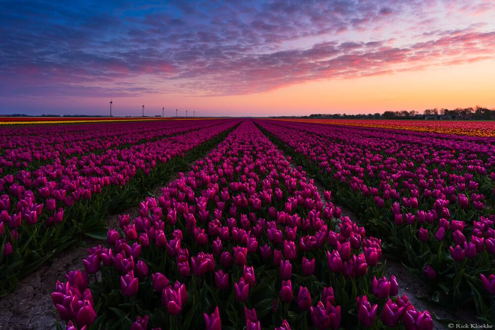 Zonsopkomst tulpen