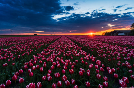 Tulpen Timelapse 2019 (video)